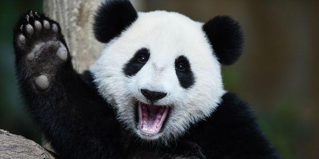 photo d'un panda qui sourit jusqu'aux oreilles et qui fait coucou à la caméra avec sa patte.