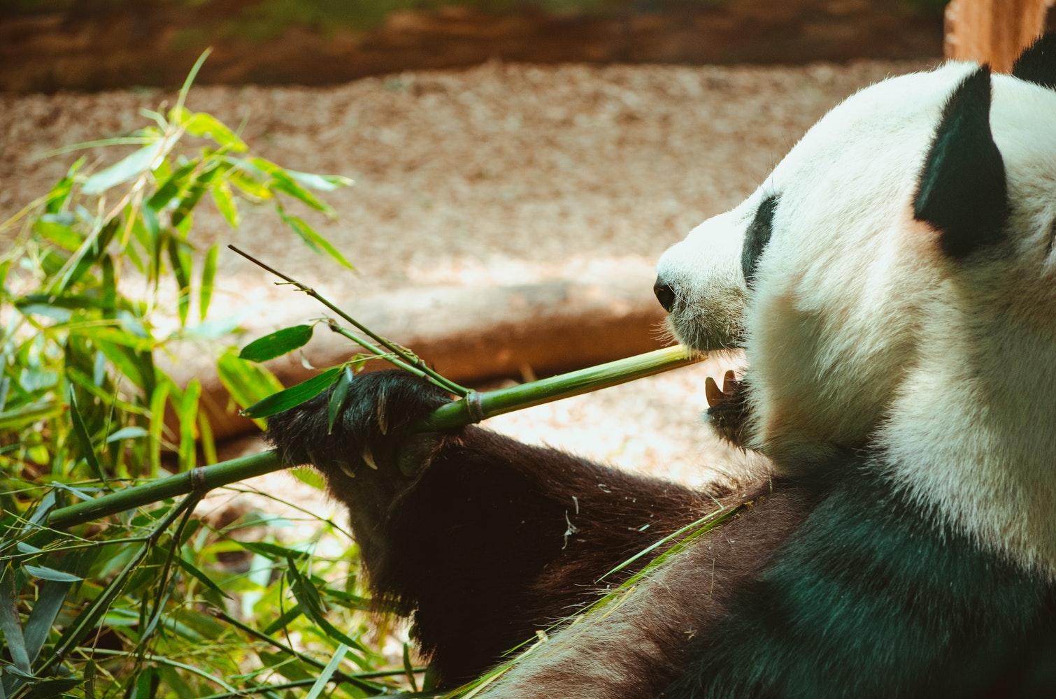Photo d'un panda qui mange un bambou