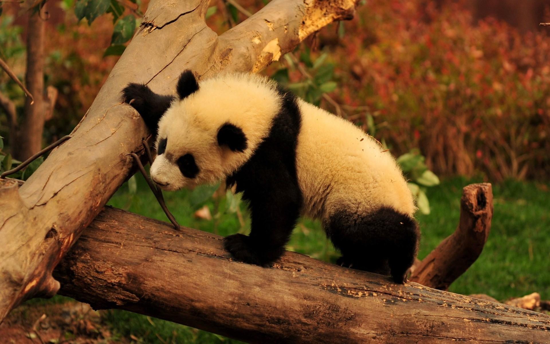 image d'un panda qui grimpe sur un arbre au coucher de soleil