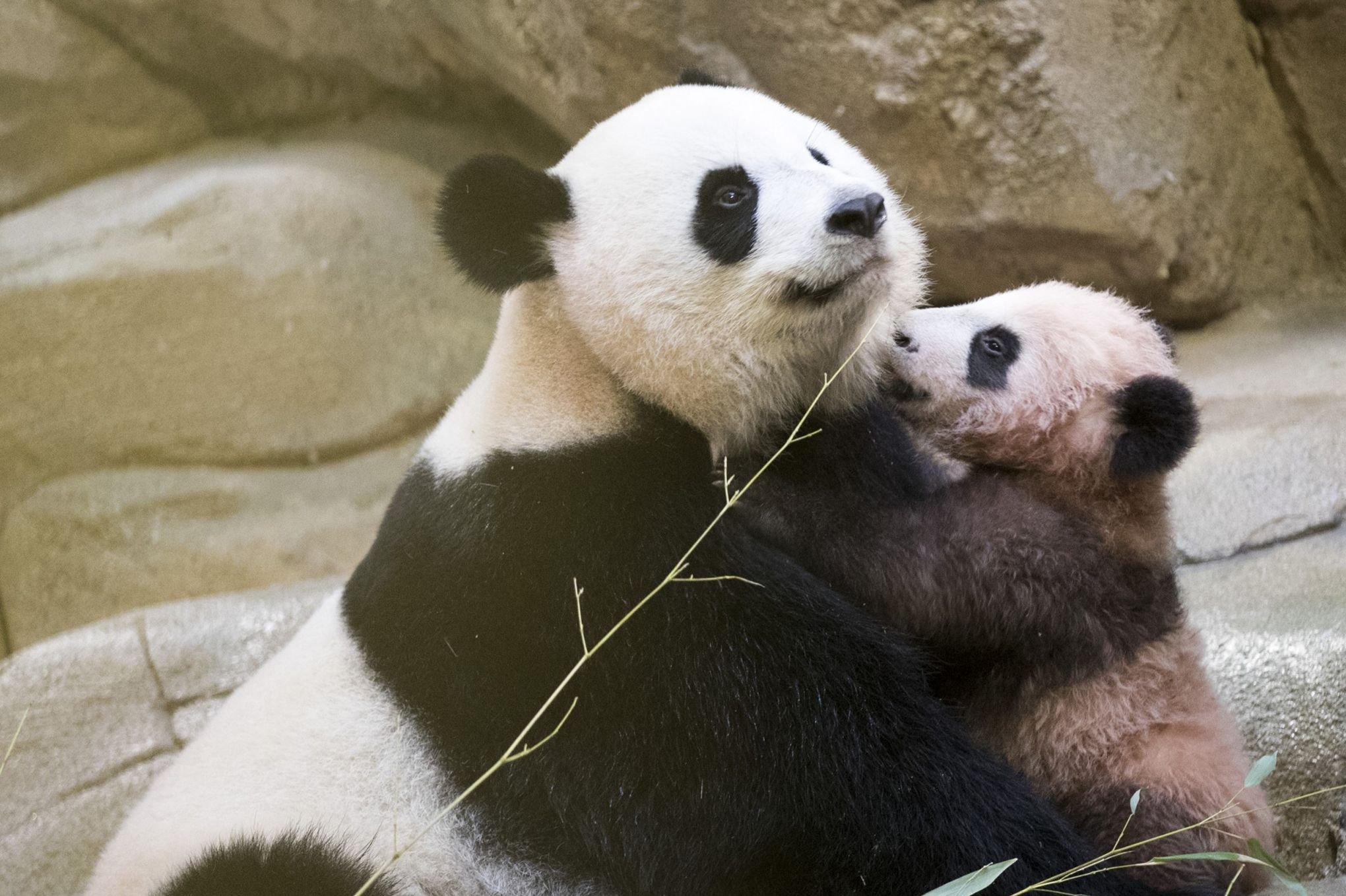 photo d'un bébé panda faisant un calin à sa mère