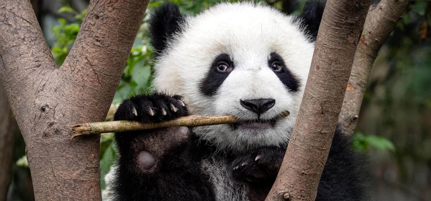 newsletter-fevrier-2018-panda