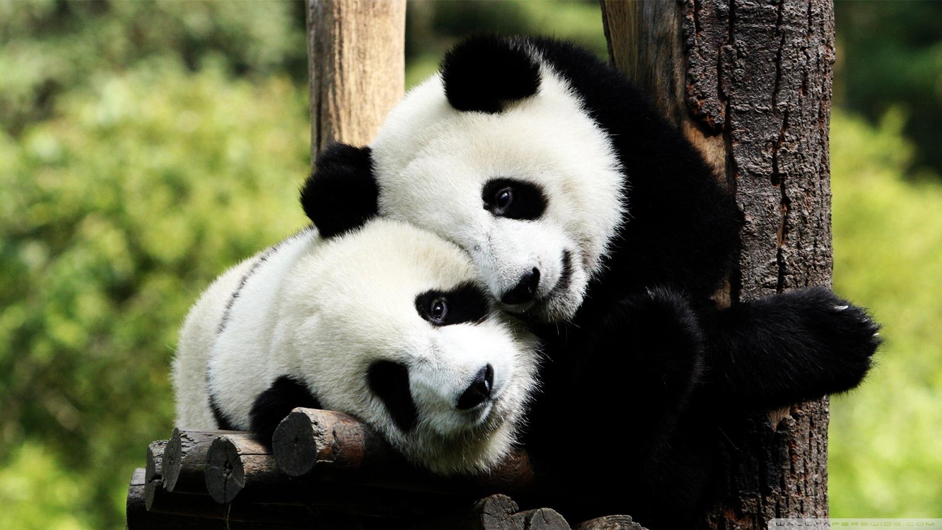 Photo de 2 pandas sur un arbre