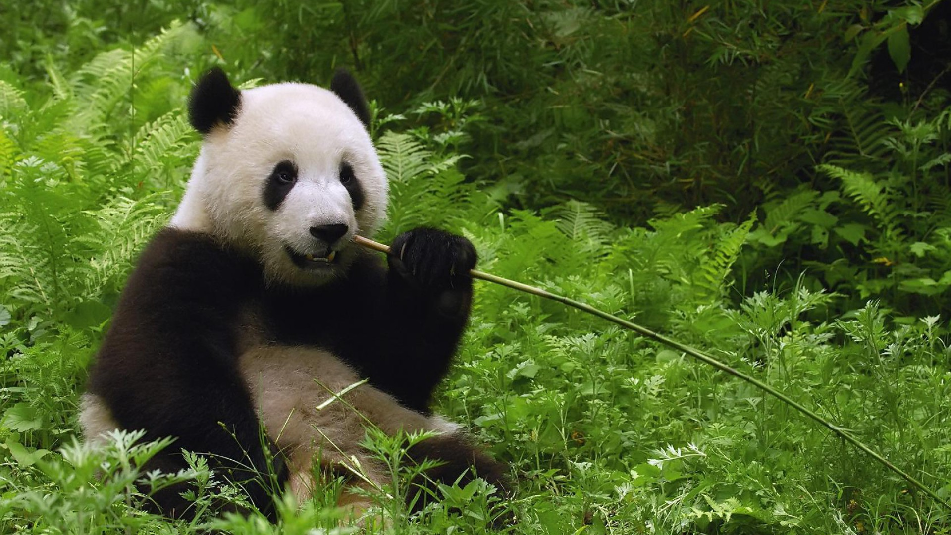panda-pictures-aout